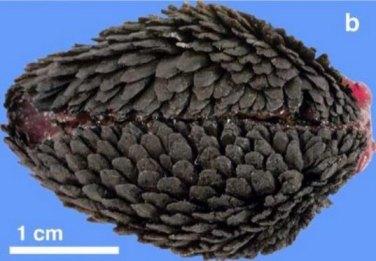 El Crysomallon squamiferum visto desde abajo.